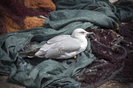 Young seagull resting on the fishing nets