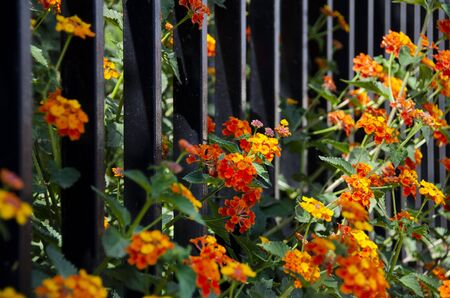 Yellow, red and orange small flowers on iron fence Stockfoto