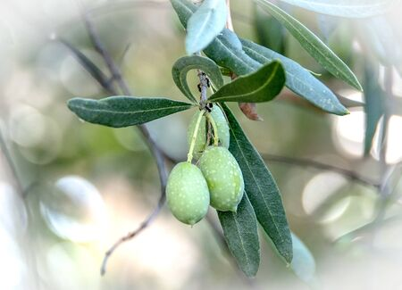 olives and leaves. white vignette applied