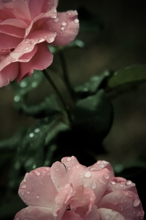 Pink roses with morning fresh drops photo