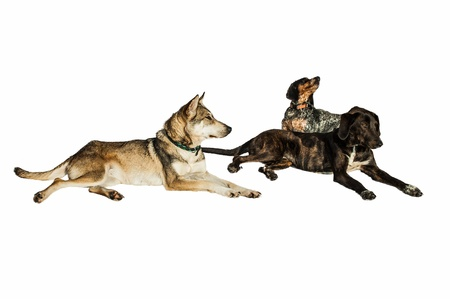 half breed: Three stray half breed dogs sitting isolated