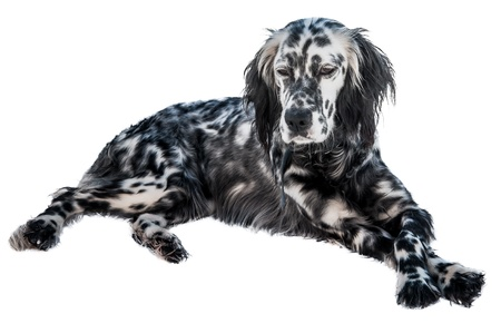 English setter dog, isolated in white background Stock Photo