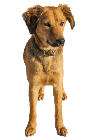 Mixed breed stray dog isolated Stock Photo