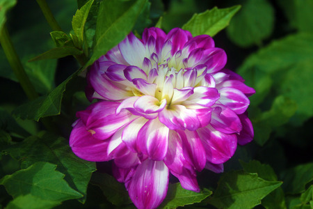 tinge: purple dahlia with whitish tinge towards the center at the petals