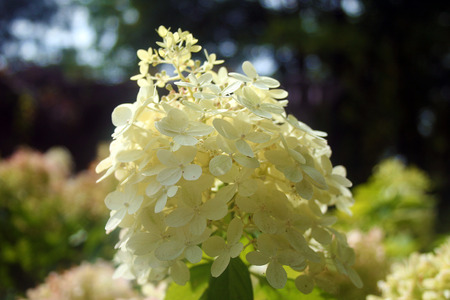 shurb: limelight hydrangea Stock Photo