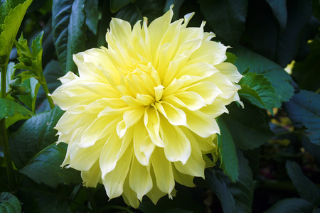 came from the family of Dahlia, this flower have a soft yellow color with lots of petals