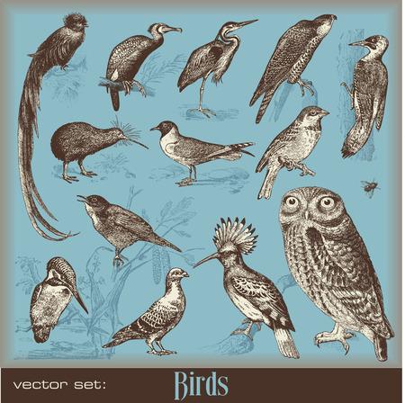 ruise�or: aves - variedad de ilustraciones de aves vintage  Vectores