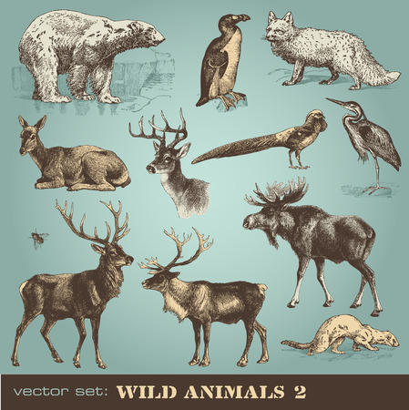 hjort:  wild animals  Illustration