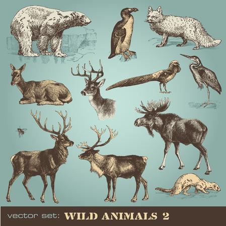 roe deer:  wild animals  Illustration