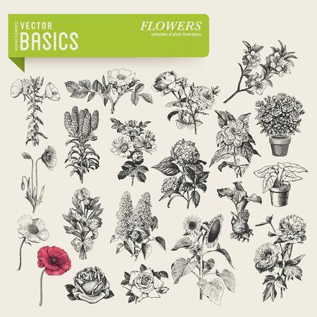 pfingstrosen: Vektor-Grundlagen Garten Blumen Illustration