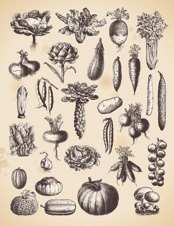 Große Sammlung von Vintage-Gemüse-Abbildungen Standard-Bild - 29263209