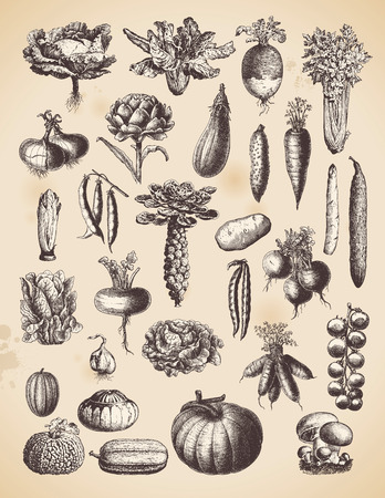 large collection of vintage vegetable illustrations Vector