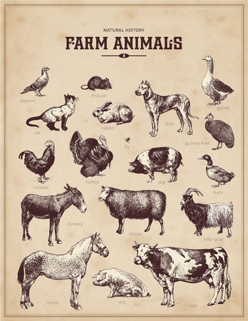 cock duck: farm animals