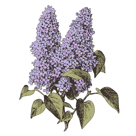 lilac background: lilac flower
