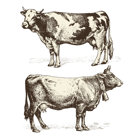 dairy cattle: cows