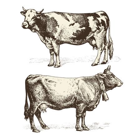 lacteos: vacas Vectores