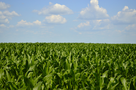 Green fields with corn sprouts 写真素材