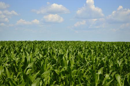 Grüne Felder mit Maissprossen
