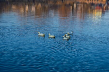 Geese swim in the lake against the backdrop of an autumn landscape close up