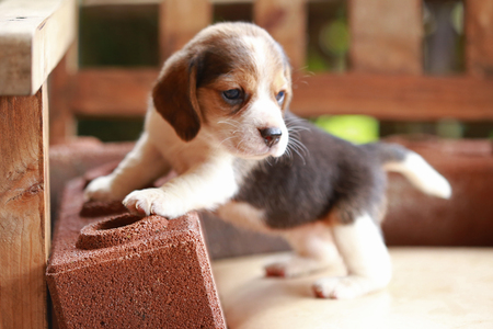 beagle puppy: Beagle puppy sit and play on wood chair Stock Photo