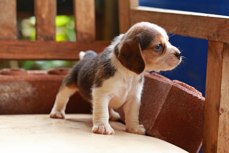 Beagle puppy sit and play on wood chair Stock Photo