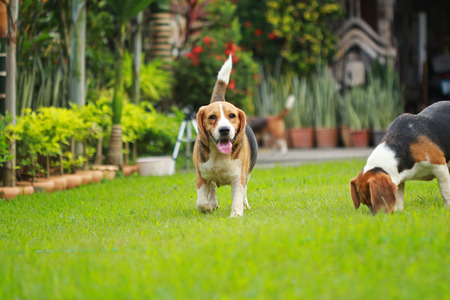 head stones: beagle dog play with family outdoors