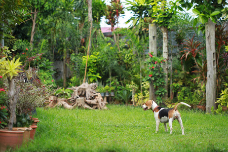 Happy beagle dogs playing in lawn Stock Photo
