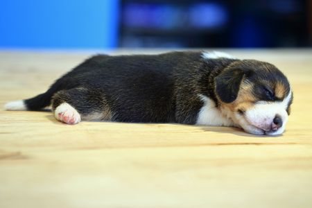 1 month year old beagle Puppy  is sleeping in the room