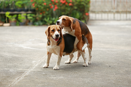 purebred beagle dog are now receptive in mating, dog breeding