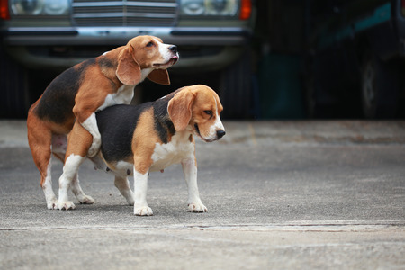 receptive: purebred beagle dog are now receptive in mating, dog breeding