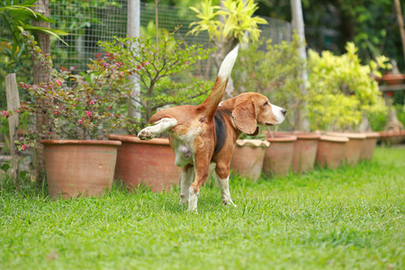 Purebred beagle dog peeing on lawn