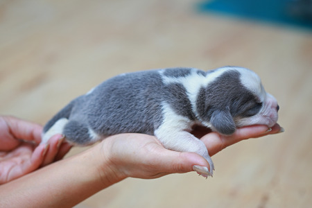 pure breed beagle Puppy is sleeping and looking in first time
