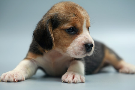 strong pure breed beagle puppy on studio light