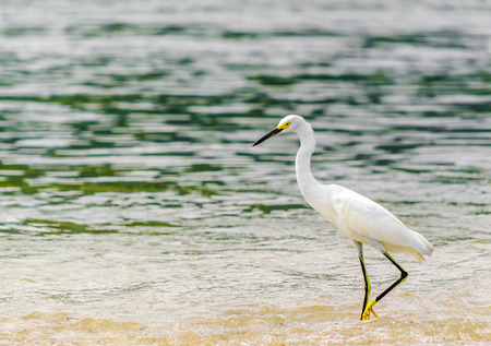 View on snowy Egret by park national tayrona in Colombia Stock Photo
