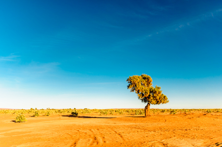 View of Acacia in the desert of Morocco Stock Photo