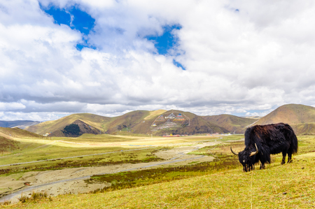 View on Yak by tagong grassland in Sichuan