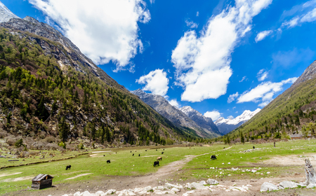 unesco: View on Yak herd in green valley of tibetian Highlands