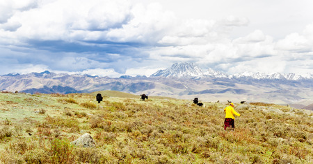 drover: View on Tibetan momads and Yaks by Tagong grassland in China
