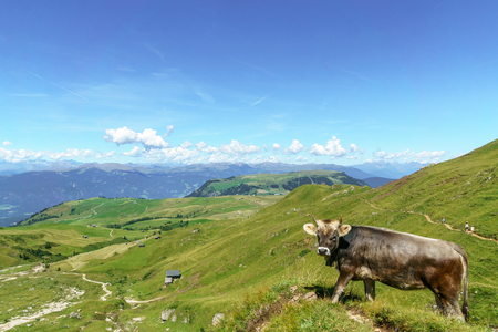 View on Schlern mountain landscape and cow in South Tyrol