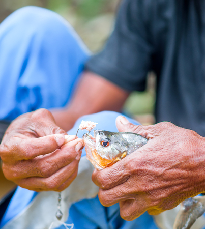 pygocentrus: View on local man shows piranha fished in Brazil
