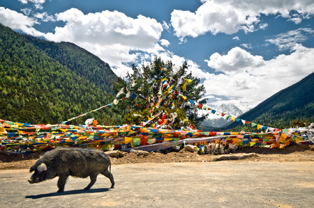 View on buddhist prayer flags an wild pigs in the tibetan mountains Stock fotó