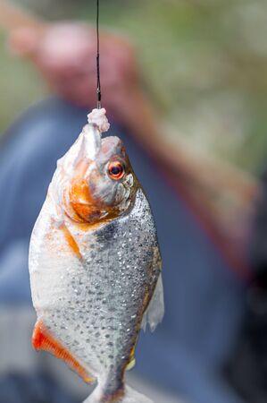 pygocentrus: View on piranha on fishing rod by Amazonas is Brazil