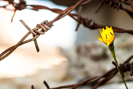 View on Flower in front of barbed wire as symbol of freedom