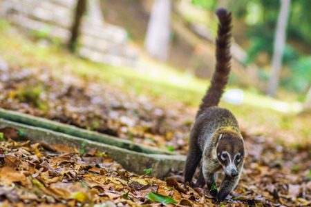 View on coati in the rain forest of national park Tikal in Guatemala