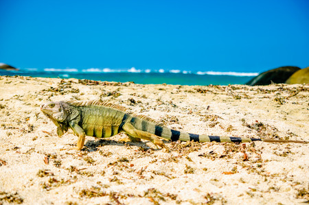 marta: View on Iguana on beach in park national Tayrona - Colombia Stock Photo