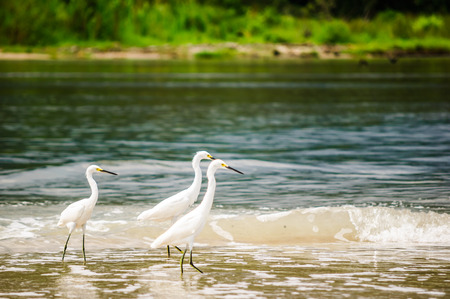 View on group of snowy Egret in national park Tayrona - Colombia