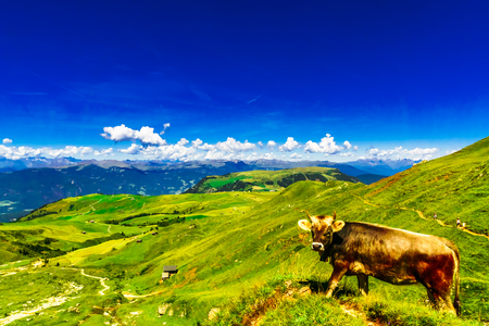 View on cow on green meadow in the mountains of South Tyrol