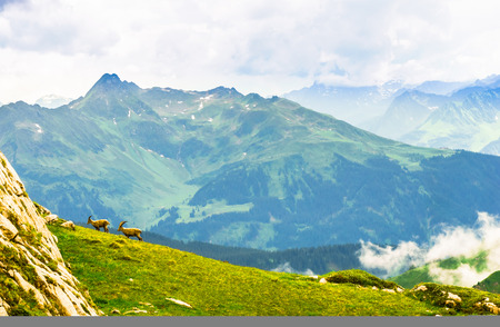 View on group of Ibex in the mountains by Arlberg in Austria