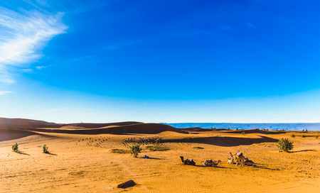 View on camels in the sahara desert of Morocco