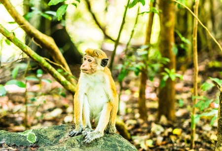View on macaque in the jungle next to Sygiria in Sri lanka Stock Photo